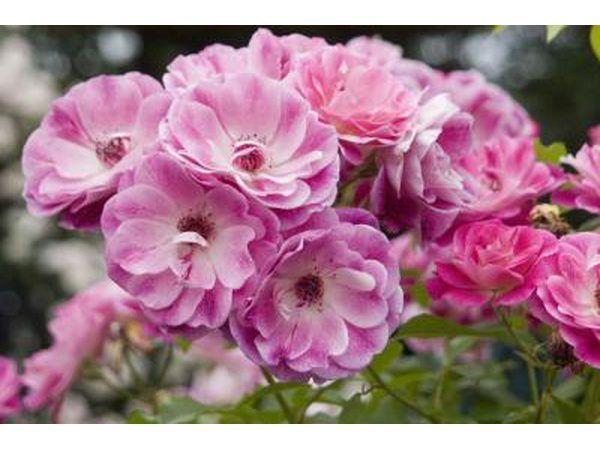 Pienk rose bloeisels groeiende in `n tuin.