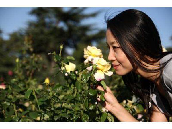 `N Vrou ruik `n geel roos.