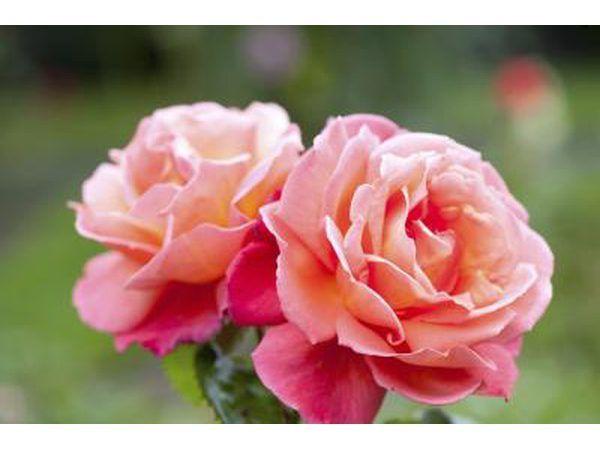Twee rose bloeisels groei in `n tuin.