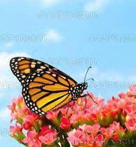 Hoe kan Butterflies vlieg?