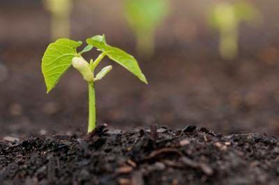 Hoeveel moet jy jou boontjie plant water?