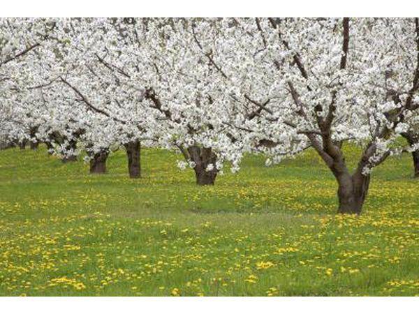 Kersie bloeisels blom in die lente tyd
