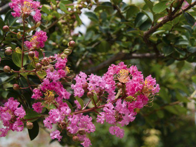 Lanfer mirtebome blom in skakerings van pienk, rooi, pers en wit.