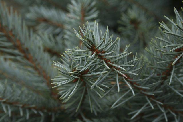 Die naalde van `n blou spar teenstelling mooi met ander landskap plante.