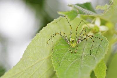 lynx spin op blaar