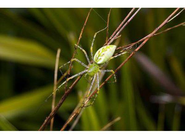 groen lynx spinnekop