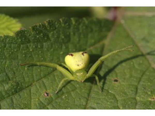 krap spinnekop op blaar