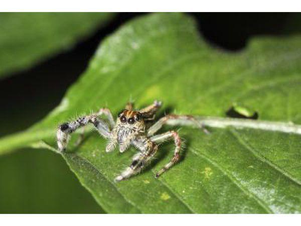 -Reus in die gesig gestaar spinnekop