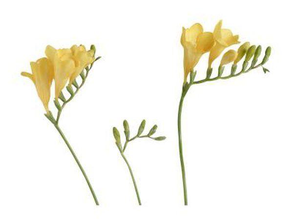 Freesia is `n geurige blom.