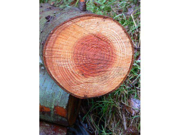 N boom`s growth rings are clues to its history.